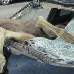 По дороге на Селигер насмерть сбили лося