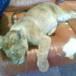 Жители защищают львенка в контактном зоопарке