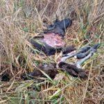 У деревни Жуково убили лося